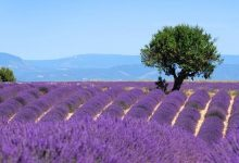 Wunderschöne Lavendelfelder in der Provence